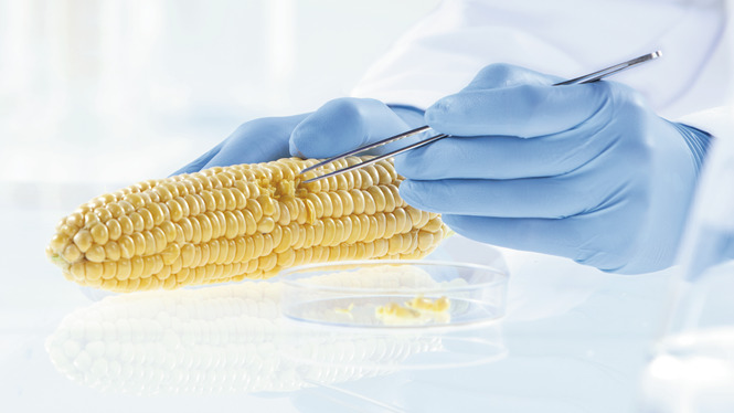 Corn in lab